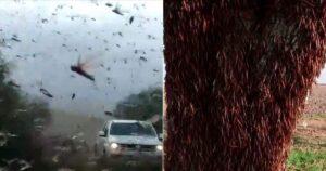 Miles de langostas formaron nube y se desplazan por varios países de América 1