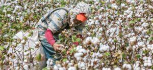 MinAgricultura pone en marcha incentivos para el cultivo de algodón por cerca de $3.000 millones - 1