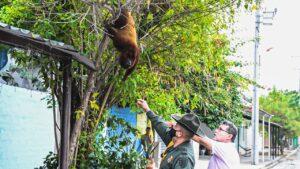 Conozca el mono aullador que enamoró a los habitantes de Piedras 1