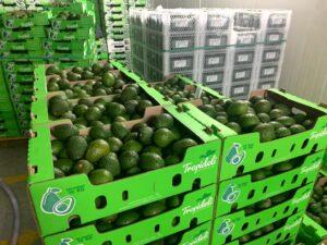 Tolima se alista para exportar más de dos millones y medio de kilos de aguacates 1