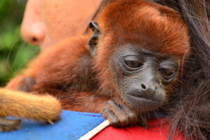 Cortolima trabaja para salvarle la vida a mono aullador rojo 1