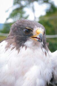 Dos niños del municipio de Chaparral salvaron la vida de un águila cola corta 1